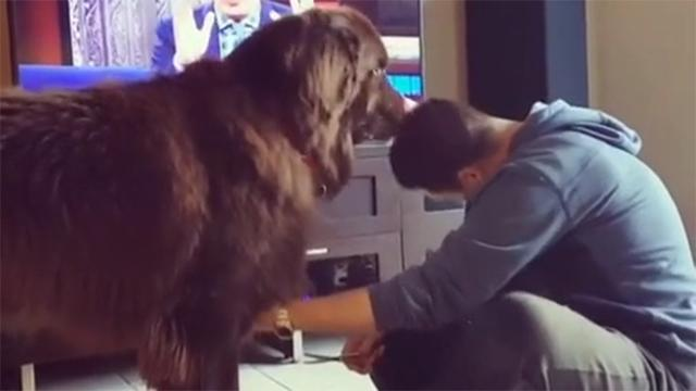 Mutual grooming session between Newfoundland and owner will crack you up